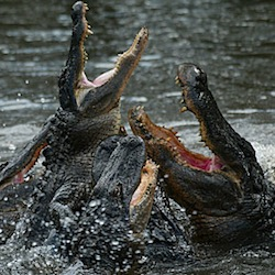 How To Beat Up Animals - Alligator