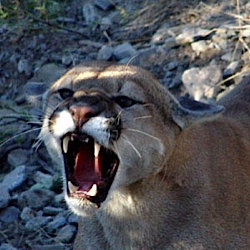 Not a friendly cougar