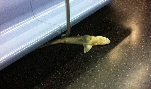 Dead shark on subway