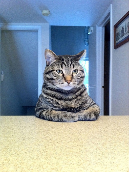 Cat-Acting-Like-Human-Sitting-at-the-Counter