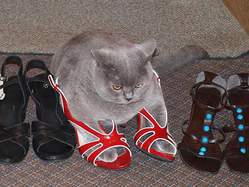 shoe cat