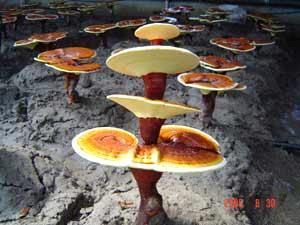 Ganoderma lucidum shrooms
