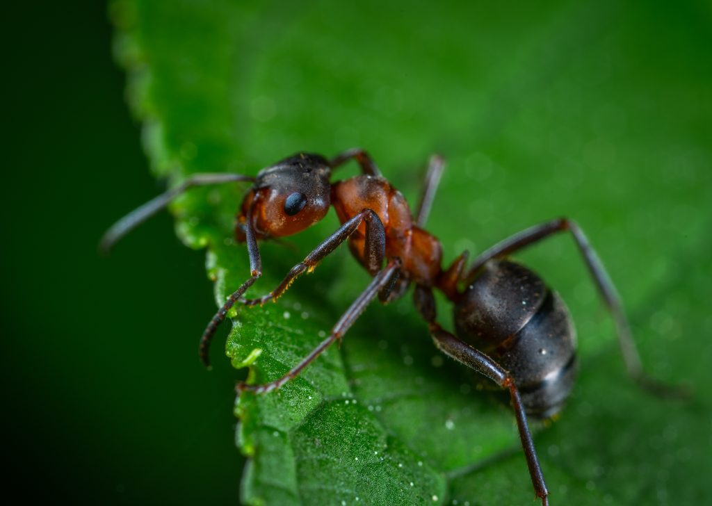 close up photography of red ant on green leaf 1104974